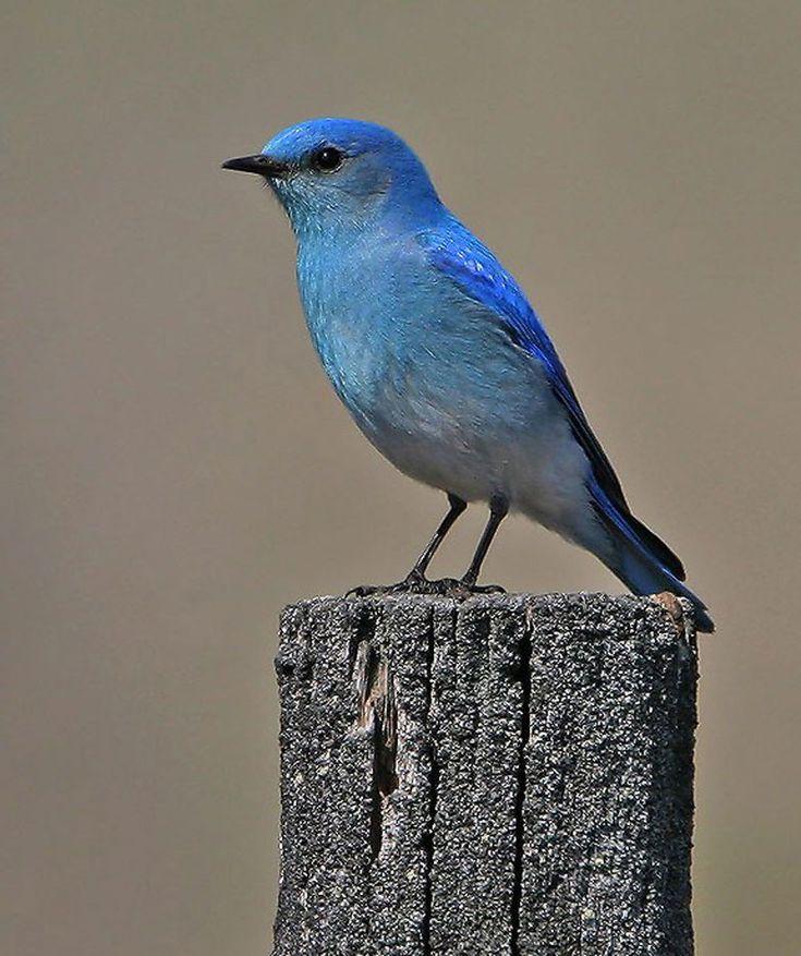 pin blue macaw bird - photo #42