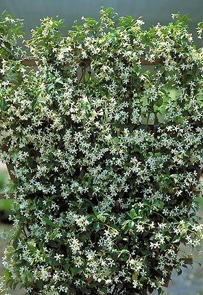 Star Jasmine | Plants I Adore | Pinterest