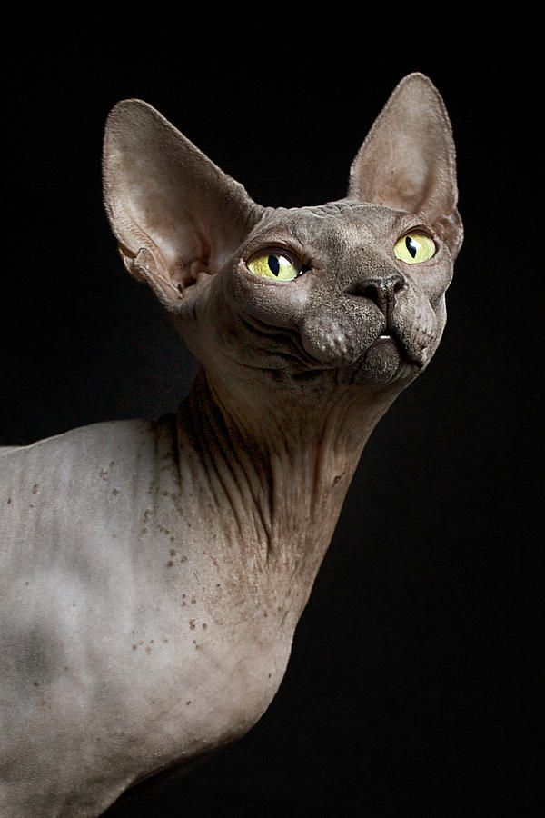 Sphynx Cat Named Pixel Print by Dracorubio Images