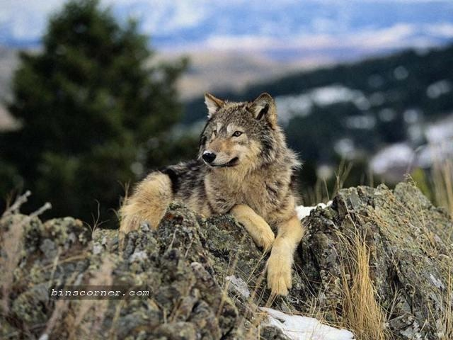 Wolves in the Wild | The Mysteries & Beautiful Wolf ...