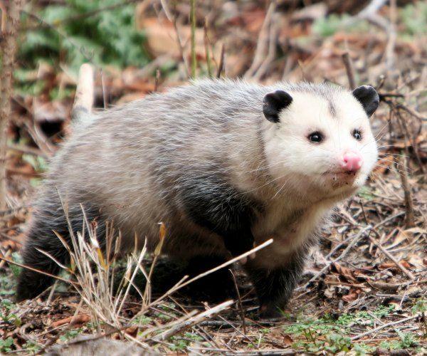 Super cute possum!