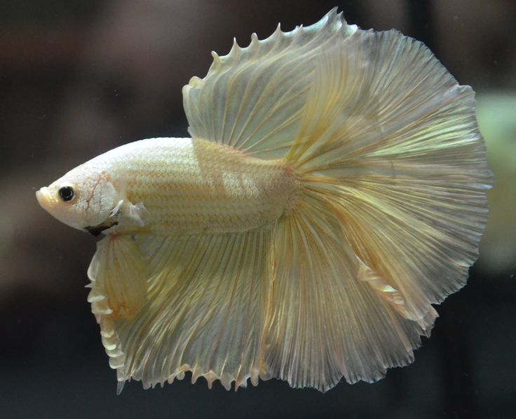 Live betta fish solid gold huge fins over halfmoon show for Show betta fish