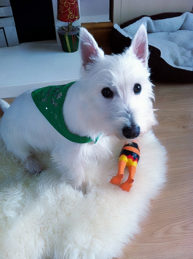 Fergus at Christmas 6 months old #west highland white terrier. #westie. .#puppy