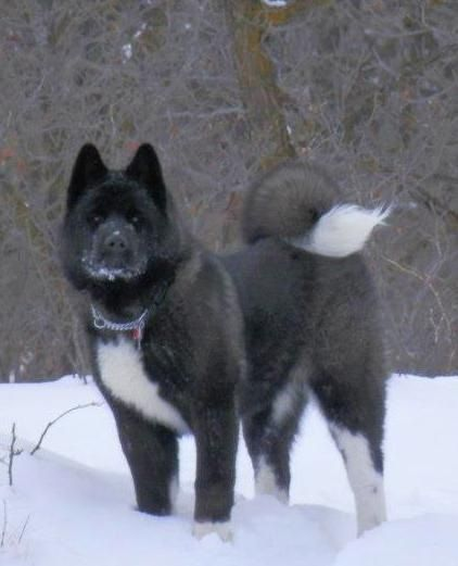 Black Faced Akita Pictures To Pin On Pinterest Thepinsta
