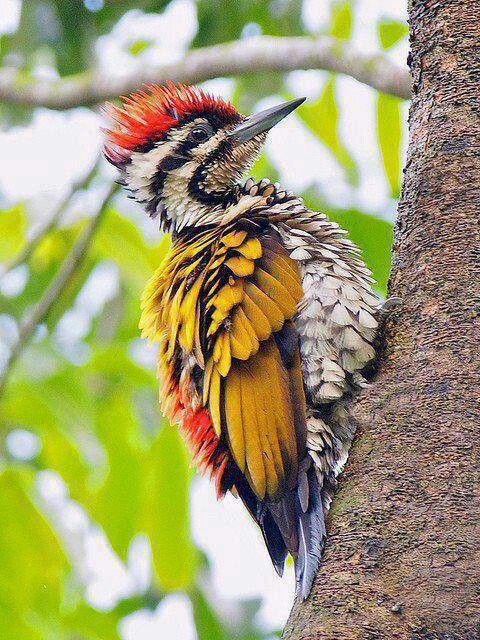 Flameback woodpecker Birds Pinterest