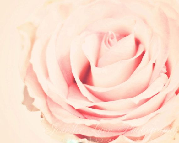 Soft pale pink rose  photography