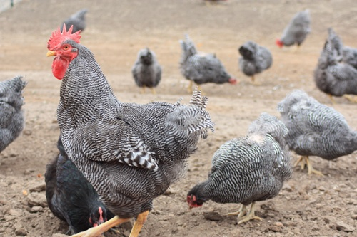 Barred Plymouth Rock Heritage Chickens at Good Shepherd Poultry Ranch.
