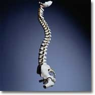 Spine Deformity can happen when unnatural curvature occurs, as in scoliosis or kyphosis of the spine and Scheuermann's disease. Complete Spine Care from http://orthopedicsindia.com