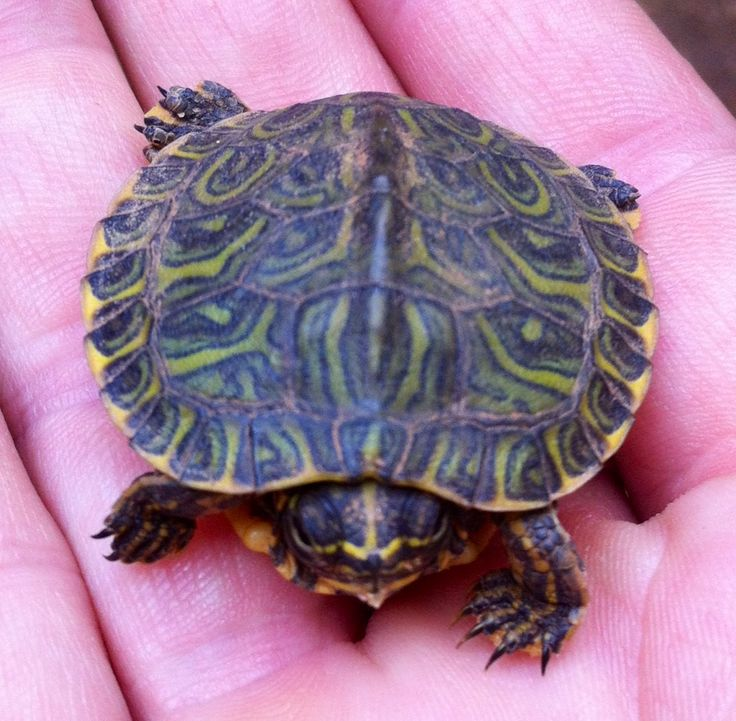 Baby Map Turtle Care Baby Map Turtle