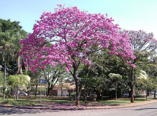 Tabebuia impetiginosa Pink Trumpet - 250.3KB