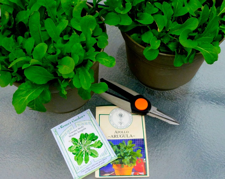 Arugula seeds and plants in containers me and my black thumb of dea - Salads can grow pots eat fresh ...