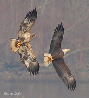 a comparison of the bald eagles and the golden eagles Who do you think will win the fight between the most dangerous birds in the world  look out the philippine eagle vs bald eagle comparison.