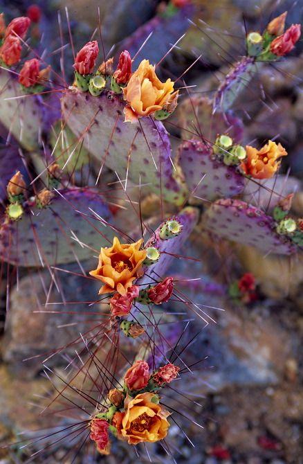 Fotografije kaktusa - Page 2 9ad744223e0bcdd5399cceff4da08008