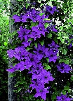 Clematis - gorgeous!