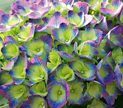 Beautiful colour in this hydrangea