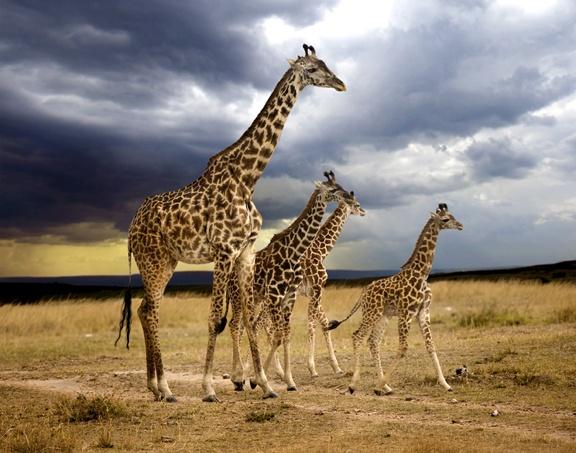 Regal Giraffe Family | Cute Animals | Pinterest: pinterest.com/pin/224476362649050494