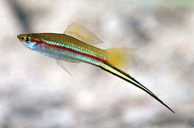 Xiphophorus hellerii - Green Swordtail My New Hobby Pinterest