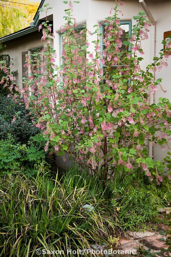 ribes sun partial shade alhambra plants pinterest