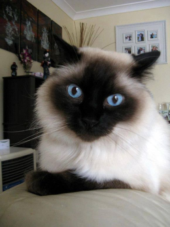 siamese x ragdoll kittens - photo #19