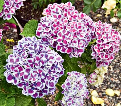 """Hydrangea macrophylla Cityline Mars (say that three times fast!). Full or part sun.  One of the shortest varieties at 24""""+."""