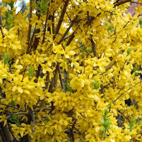 Pin by maiken billick on backyard pretties pinterest for Hardy flowering trees