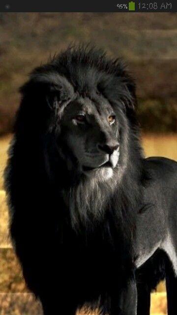 The black lion