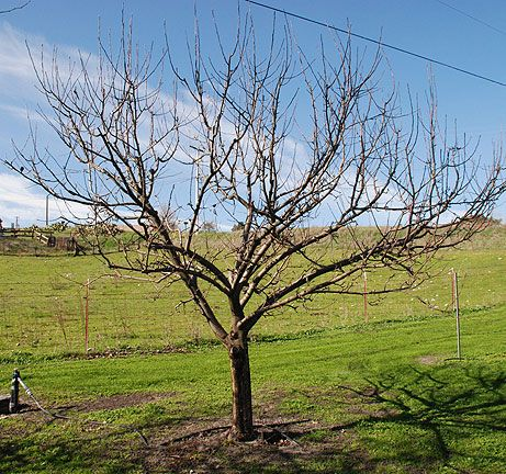 how to prune apple trees in fall