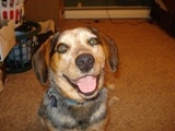 "Beagle/ Blue Heeler mix ""Beeler"" | Furbabies...I'm obsessed | Pintere ..."