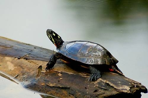 Caring for Baby Painted Turtles