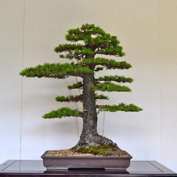 Pin by bonsai empire on great bonsai trees pinterest for Famous bonsai trees