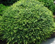Pin by flowers fluff on shrubs evergreen pinterest for Low maintenance partial sun plants