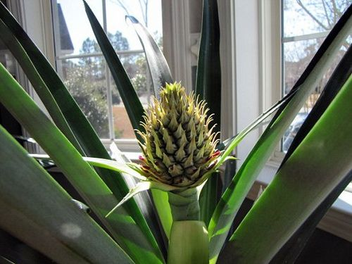 Grow Your Own Pineapple For The Home Pinterest