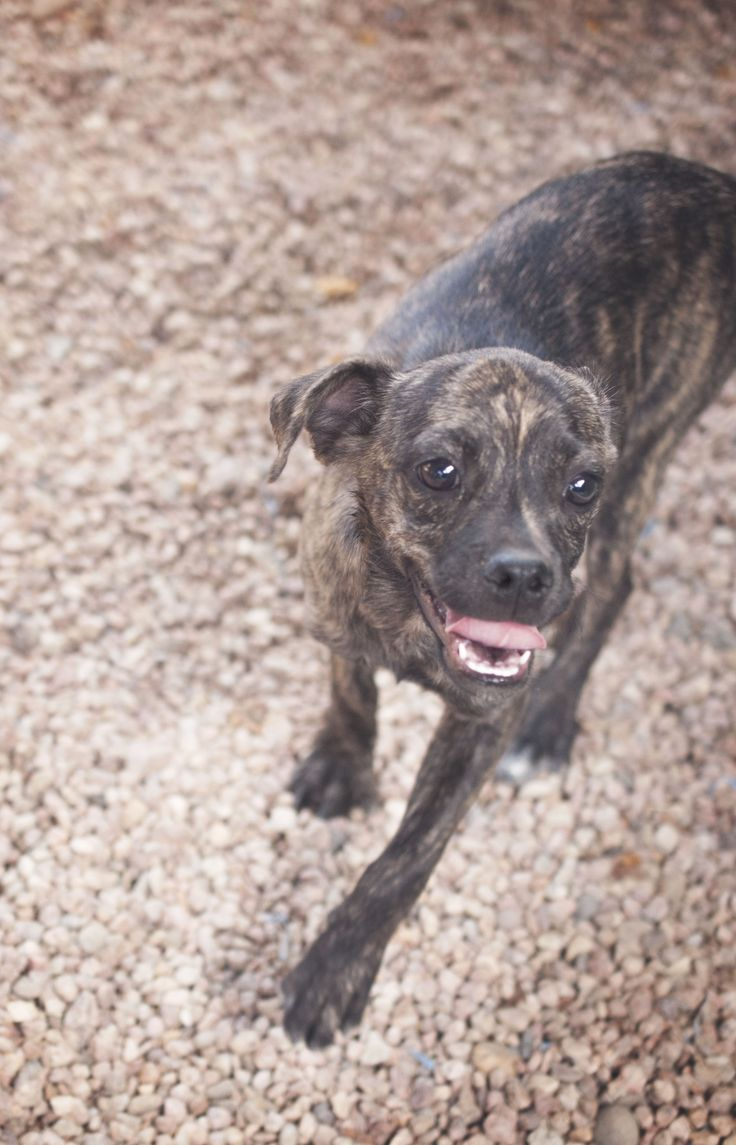 Diesel Chihuahua/Pug Mix Boy (Neutered) - 6 ...   Puppies for Adoption