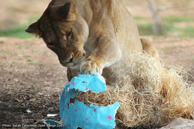werribee zoo valentine's day