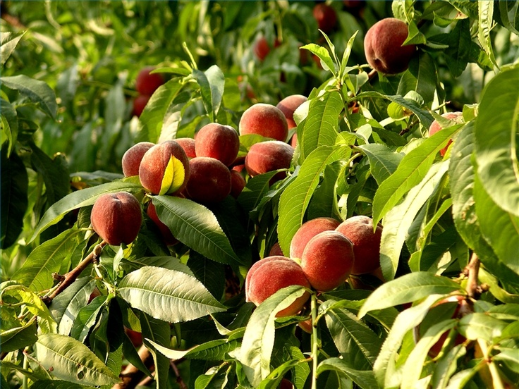 How to prune a peach tree for The peach tree
