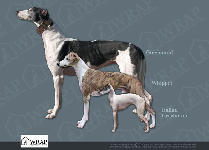 Greyhound Dog Breed Size