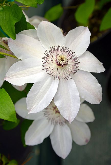 white clematis flowers in awe of nature pinterest