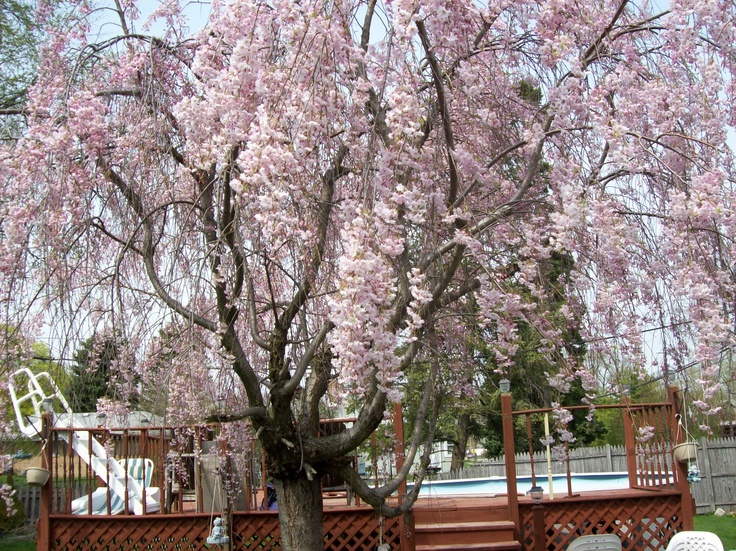 Japanese cherry willow tree | Outdoor living | Pinterest