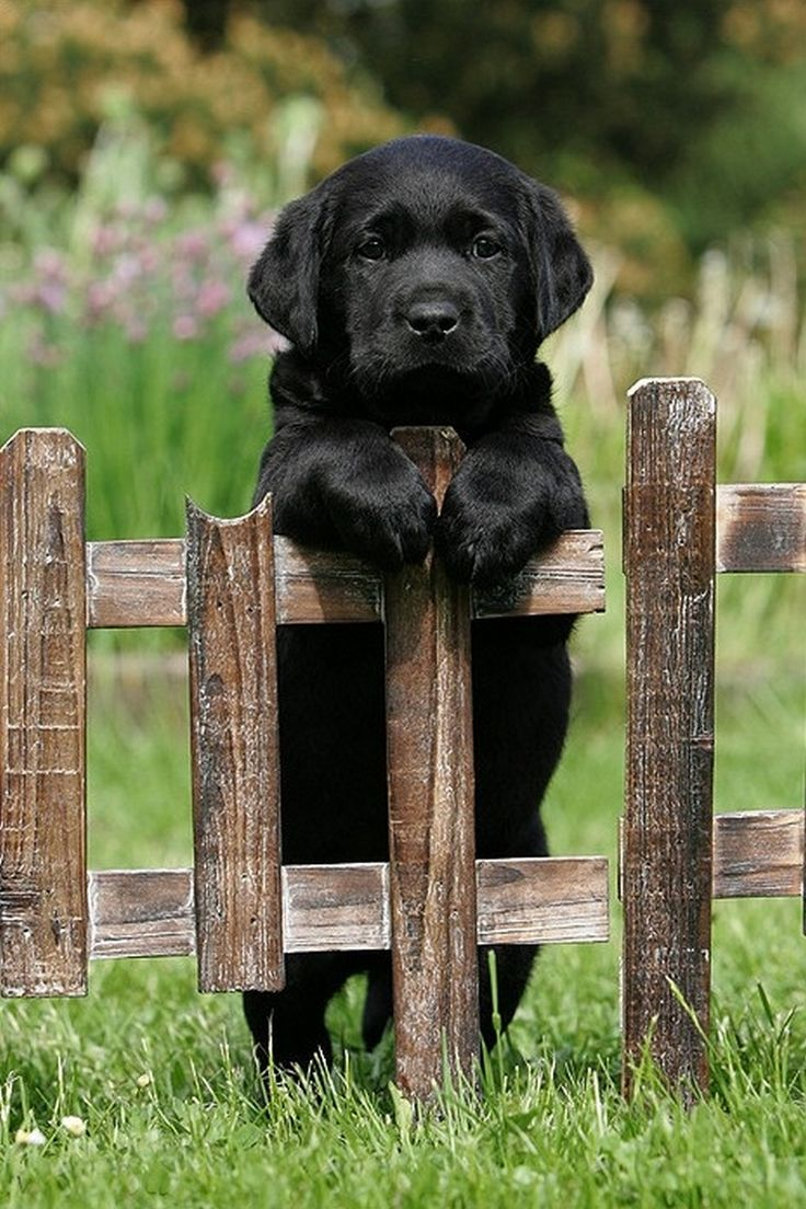 Black lab pup on a fence