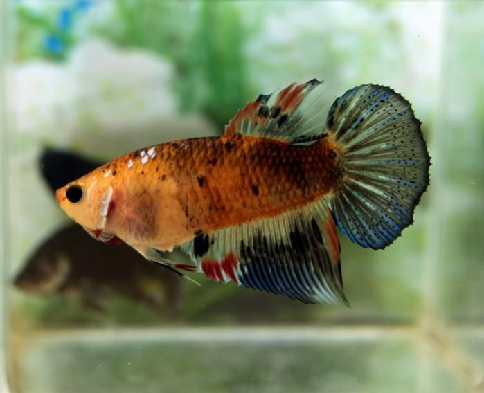 Beautiful female betta betta fish pinterest for Pretty betta fish