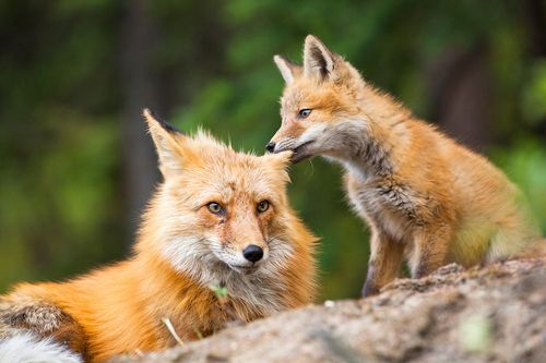 """Fox kid chewing on his mom's ear"" by Nicolas Dory :)"