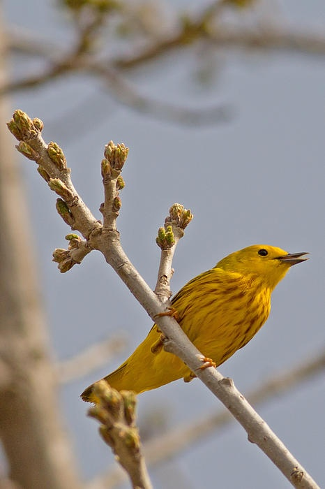 Yellow Warbler Flying ... yellow warblers ar...