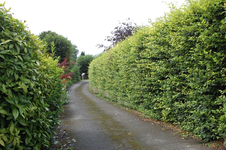 This is typical of the hedgerows along the byways in the Cornwall area of England.