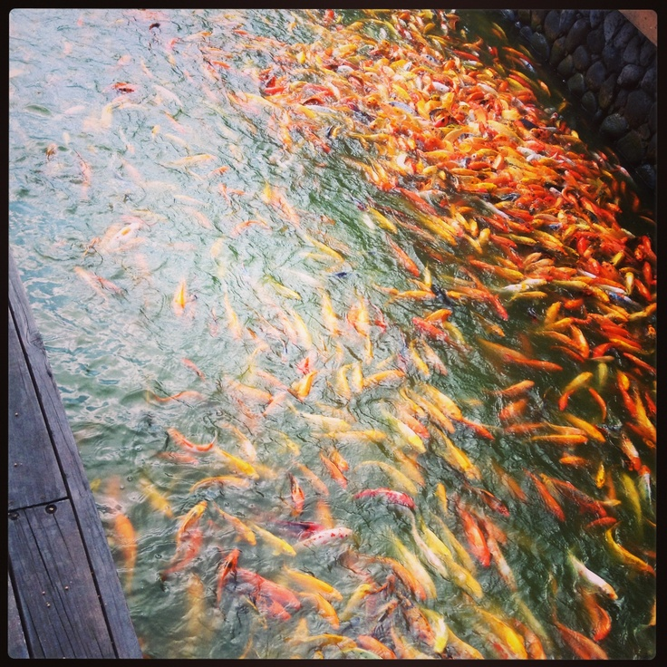 koi fish nuvali ph l i f e pinterest