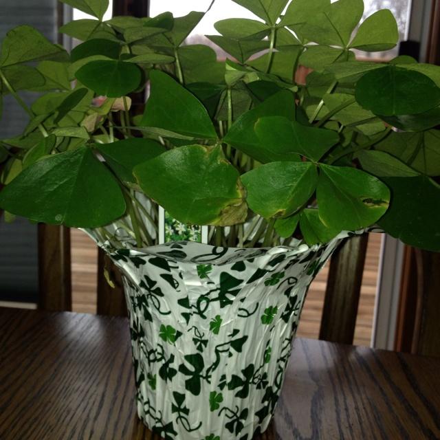 My shamrock plant the irish in me pinterest - Shamrock houseplant ...