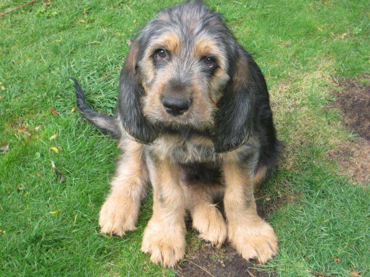 Otterhound Puppy | Ott...