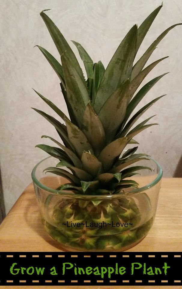 Pin by consuelo brown on garden pinterest for How to plant a pineapple top in a pot