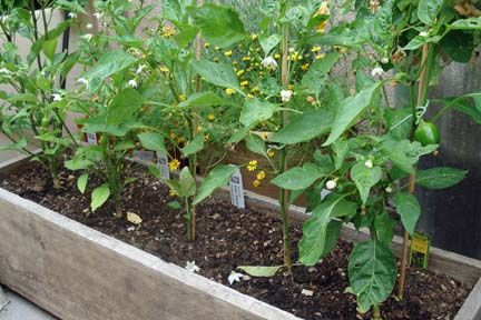 How to grow peppers in a container gardening with my not so green - Planting pepper garden ...
