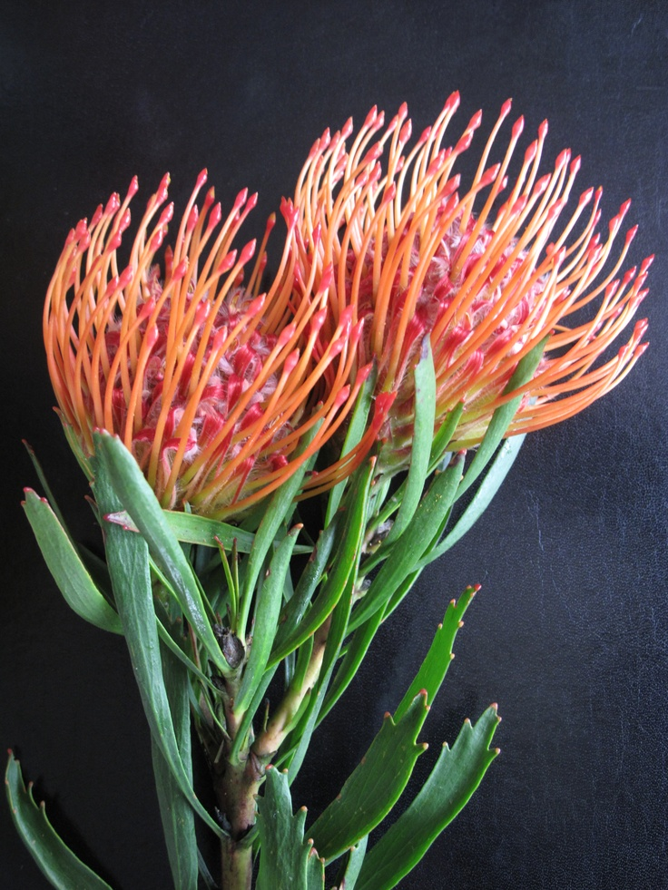 Pincushion Protea pincushion protea | Ta...