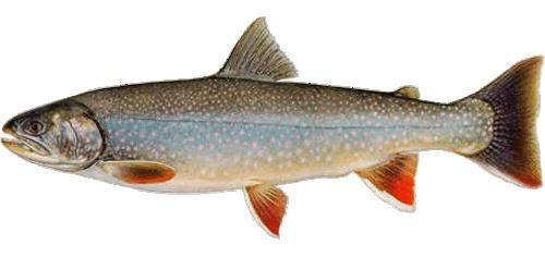 Dolly varden trout art pinterest for Dolly varden fish